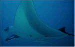 CITES Makes  Historic Decision to Protect Sharks  and  Rays